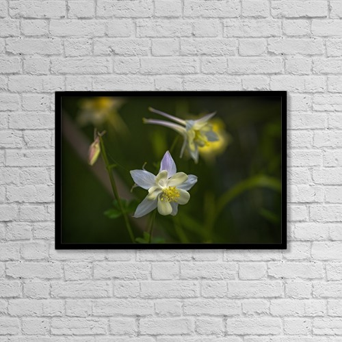 "Printscapes Wall Art: 18"" x 12"" Canvas Print With Black Frame - Columbine (Aquilegia) Blooms In A Garden by Robert L. Potts"