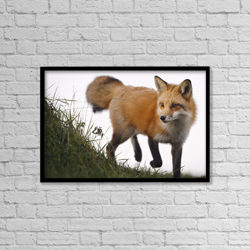 "Printscapes Wall Art: 18"" x 12"" Canvas Print With Black Frame - Red Fox (Vulpes Vulpes) by Vladislav Kamenski"