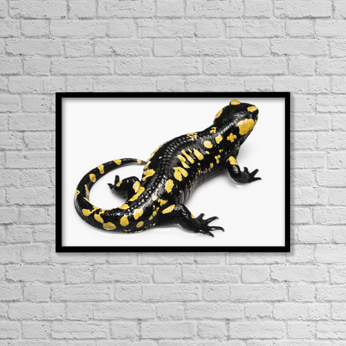 "Printscapes Wall Art: 18"" x 12"" Canvas Print With Black Frame - Salamander (Caudata) On A White Background by Ben Welsh"