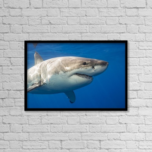 """Printscapes Wall Art: 18"""" x 12"""" Canvas Print With Black Frame - Great White Shark (Carcharodon Carcharias) by Dave Fleetham"""