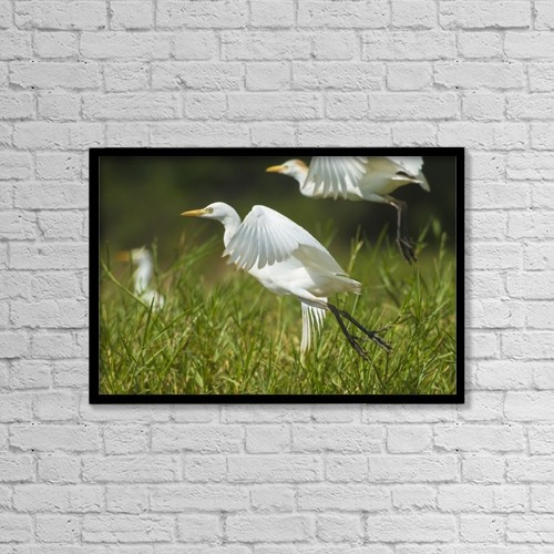 """Printscapes Wall Art: 18"""" x 12"""" Canvas Print With Black Frame - Egrets Taking Flight, Liwonde National Park by Ian Cumming"""
