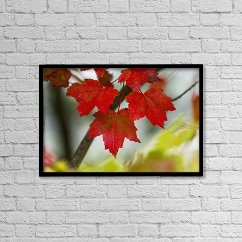 "Printscapes Wall Art: 18"" x 12"" Canvas Print With Black Frame - Maple Leaves Show Off Their Autumn Hues by Robert L. Potts"