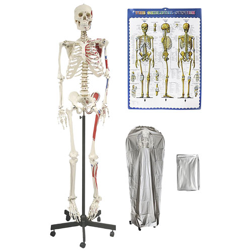 Walter Products 168cm Human Skeleton Model with Muscles : Anatomical ...